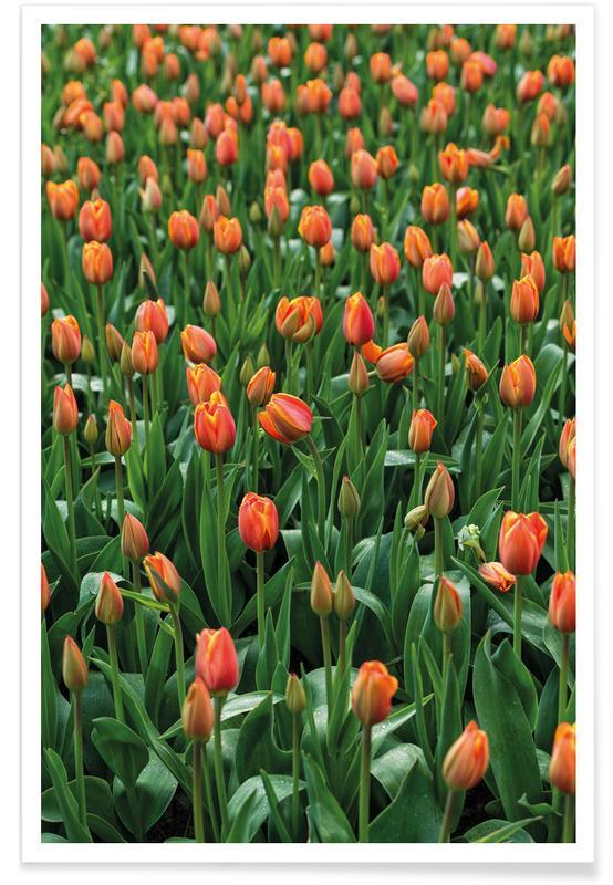 Tulipes, Tulip Field Orange affiche
