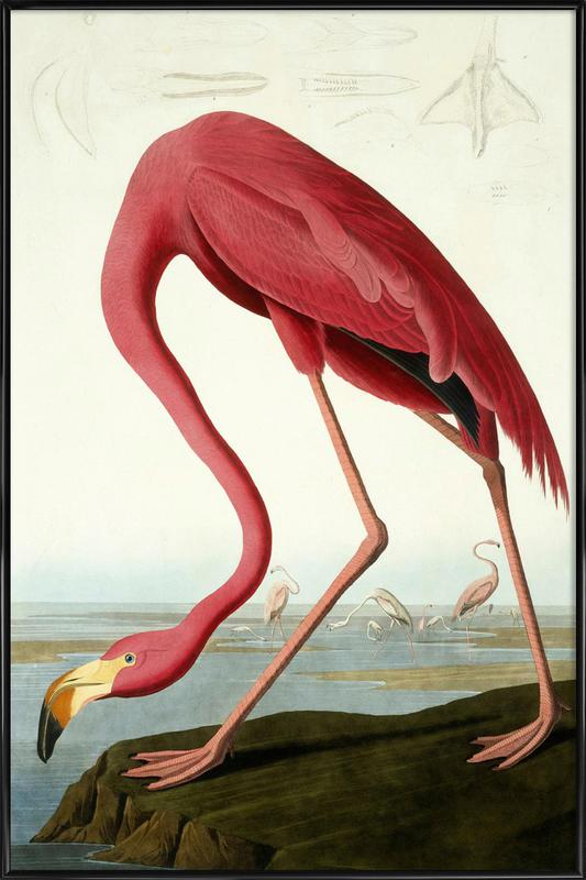 American Flamingo (by List Collection) Framed Poster