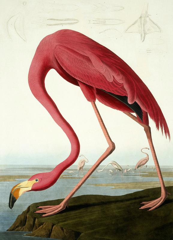 American Flamingo (by List Collection) Canvas Print