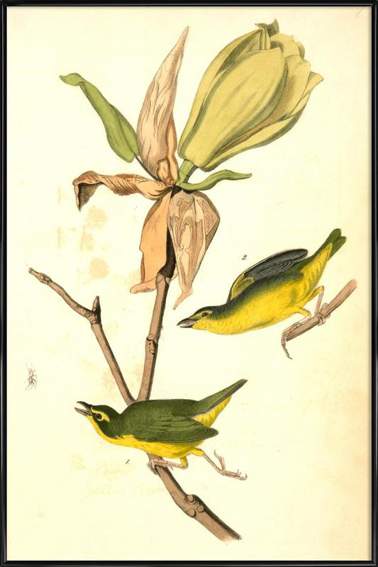 Kentucky Flycatching-Warbler (by List Collection) affiche encadrée