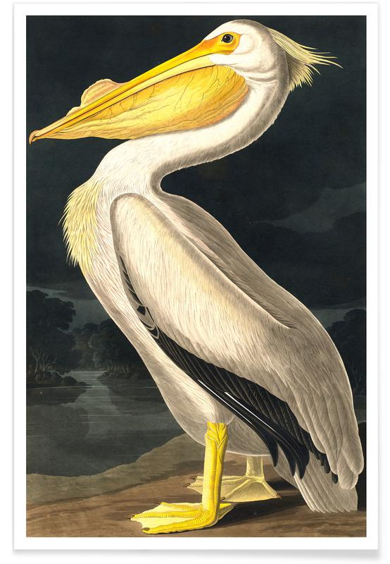 Pelicans, Vintage, American White Pelican Poster