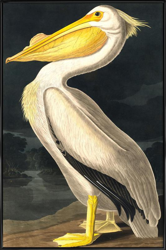 American White Pelican (by List Collection) Framed Poster