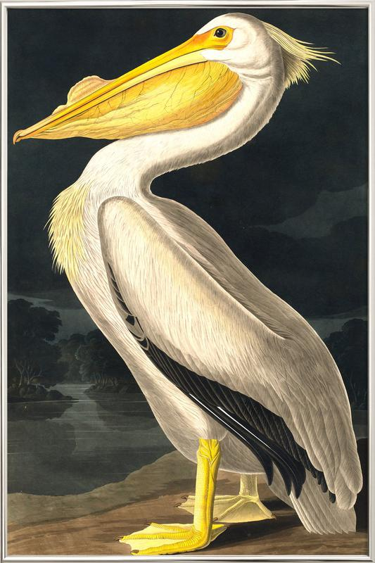 American White Pelican (by List Collection) Poster in Aluminium Frame
