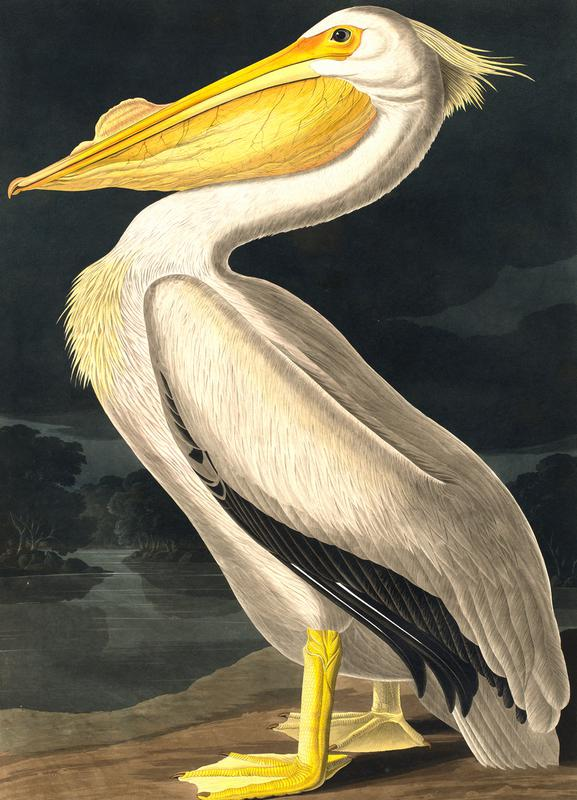 American White Pelican (by List Collection) Canvas Print