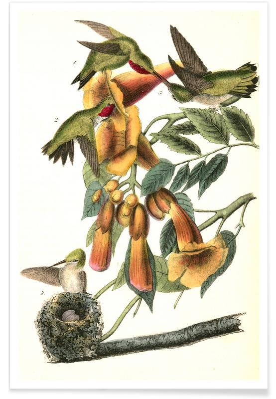 Vintage, Kolibries, Rubythroated Neuriën Bromende Vogel poster