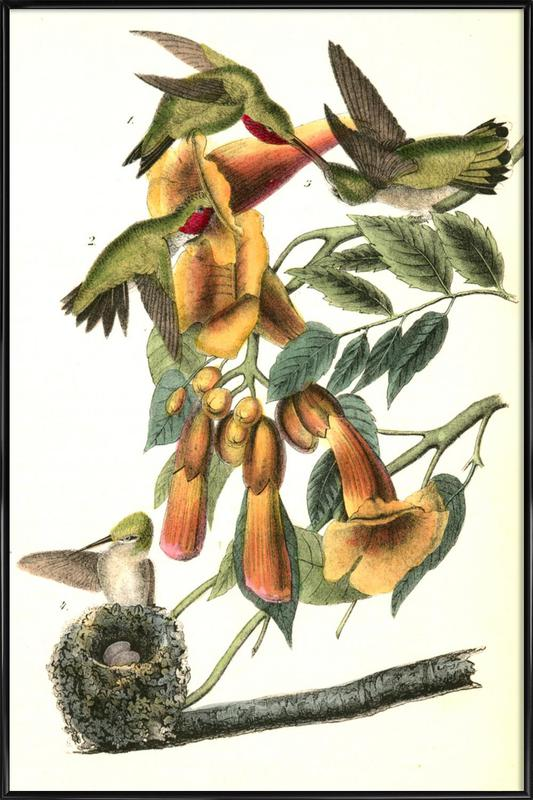 Ruby-throated Humming Bird (by List Collection) Framed Poster
