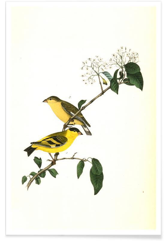 Vintage, Chardonneret jaune de Yarrell affiche