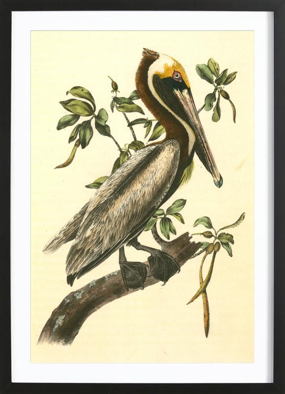Brown Pelican (by List Collection) Framed Print