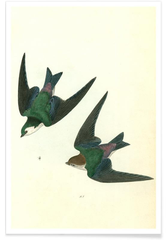 Violet Green Swallow Poster