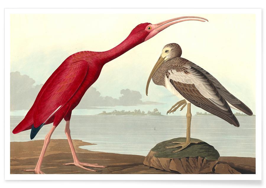 Vintage, Scharlaken Ibis poster
