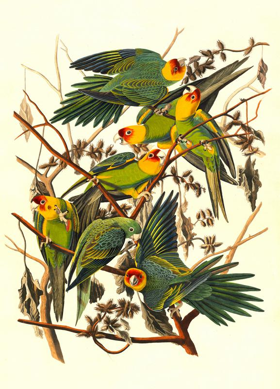 Carolina Parrot, 1827 (by List Collection) canvas doek