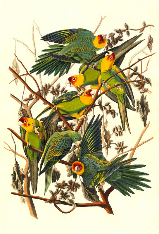 Carolina Parrot, 1827 (by List Collection) acrylglas print