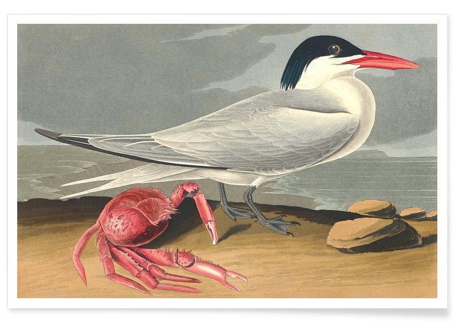 Seagulls, Vintage, Cayenne Tern Poster