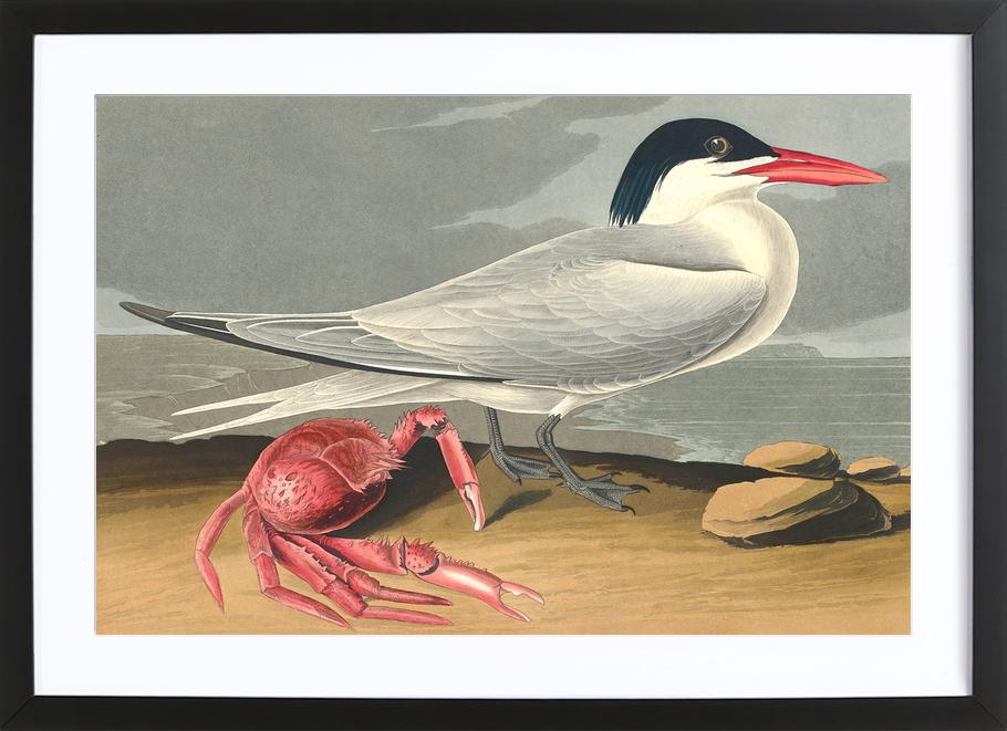 Cayenne Tern (by List Collection) Framed Print