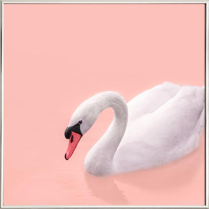 White Swan Poster in Aluminium Frame