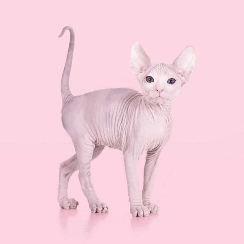 Sphynx Cat -Leinwandbild
