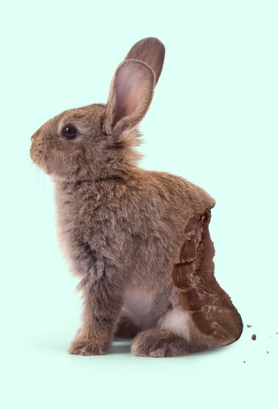 Chocolate Rabbit Aluminium Print