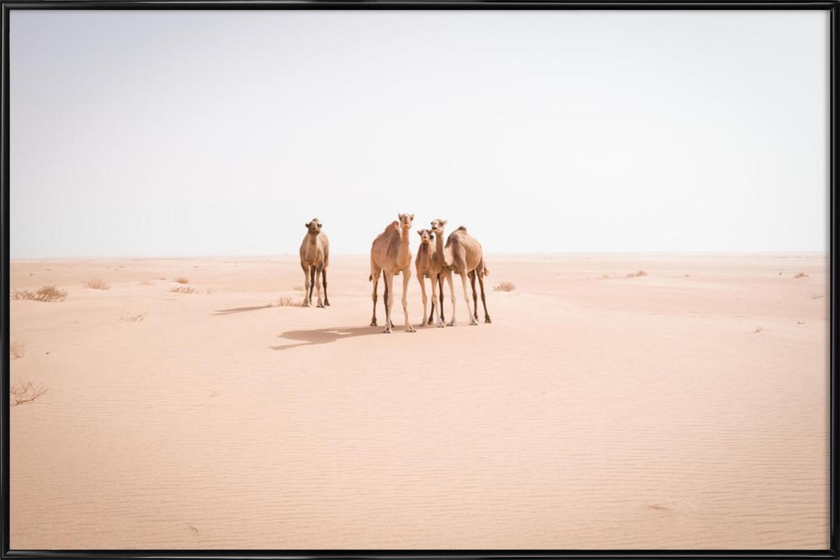 Camels Sahara Framed Poster