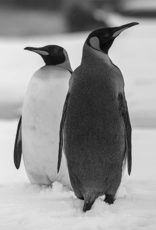 The Penguins acrylglas print