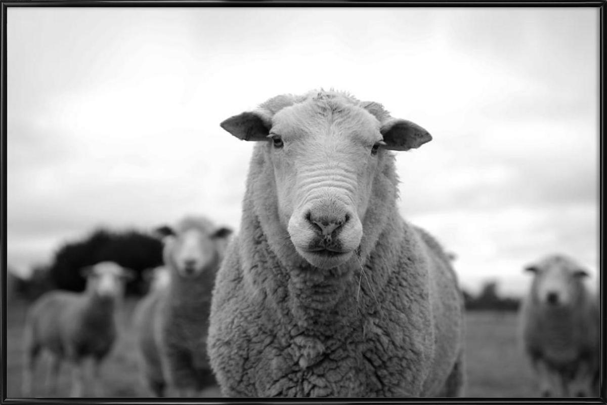 The Sheep affiche encadrée