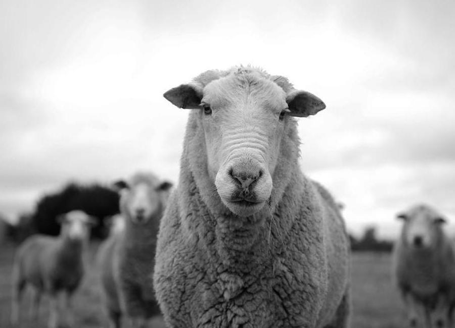 The Sheep Canvastavla