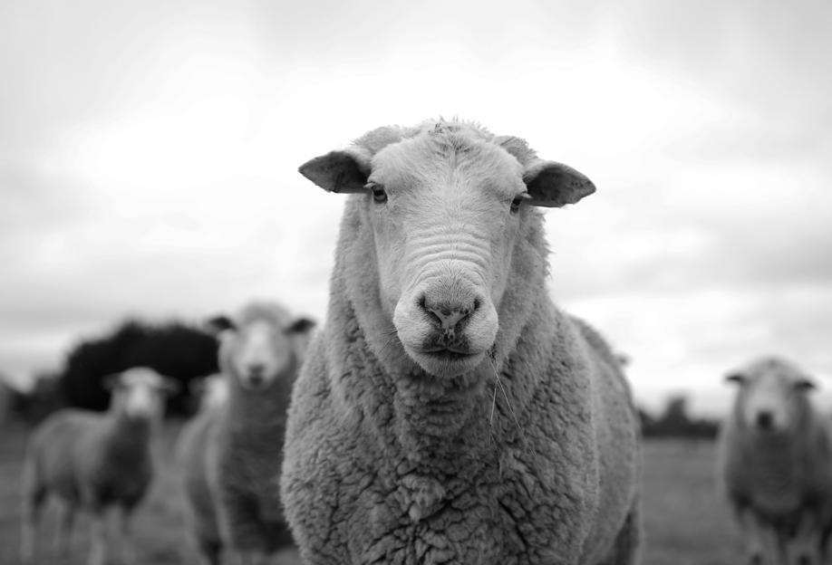 The Sheep Aluminium Print