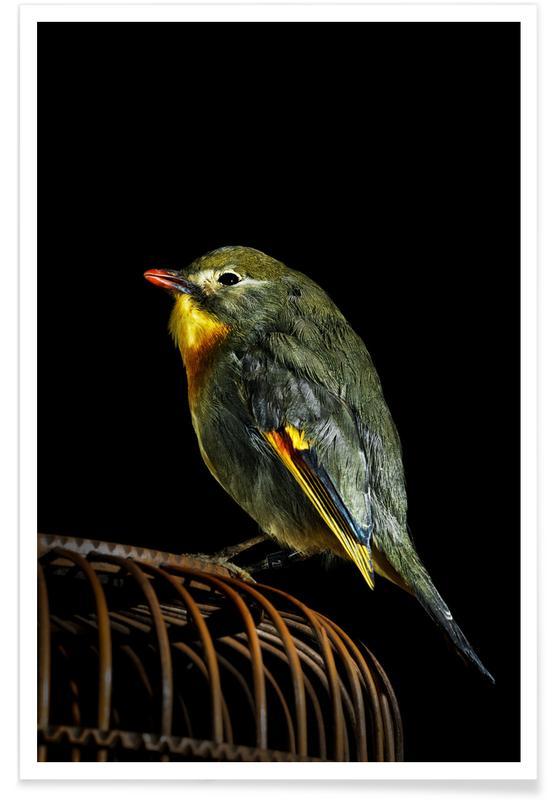 Kanaries, Birds Everywhere 12 poster