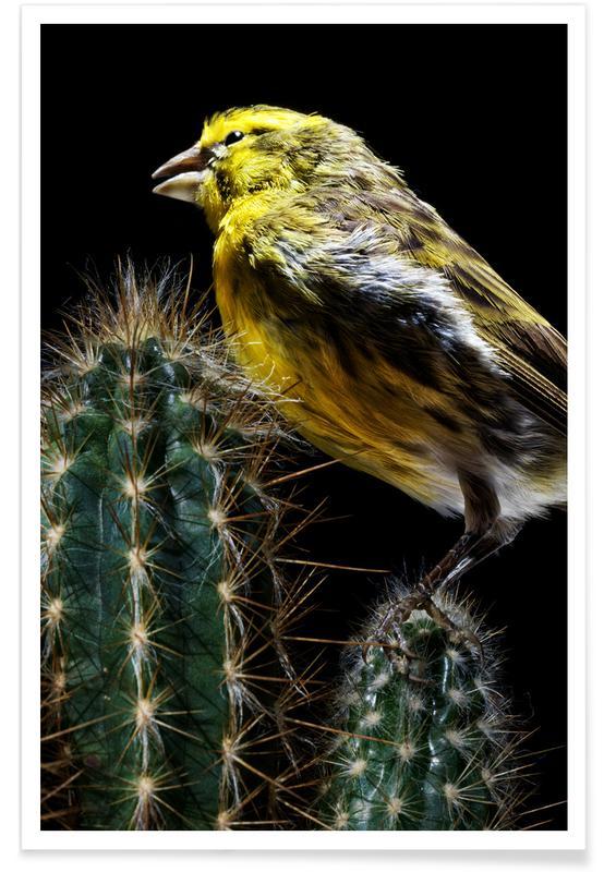 Kanaries, Birds Everywhere 16 poster