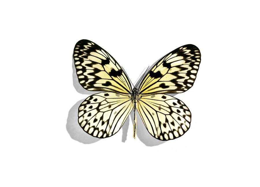 Butterflies 7 toile