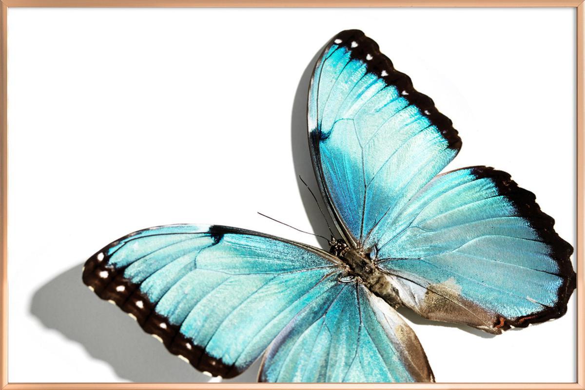 Butterflies 10 Poster in Aluminium Frame