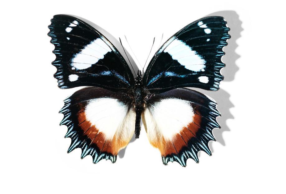 Butterflies 13 Impression sur alu-Dibond
