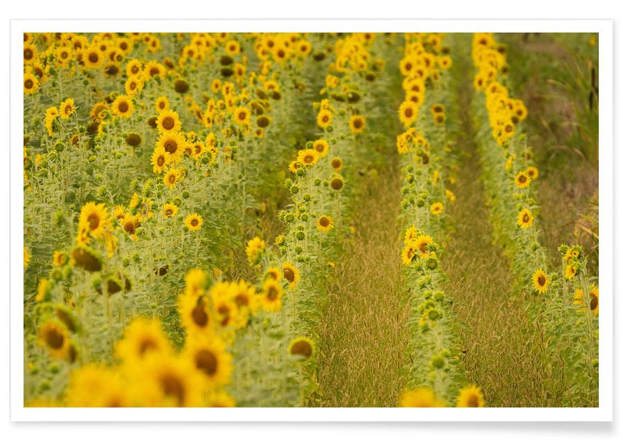Solsikker, Sonnenblumen Plakat