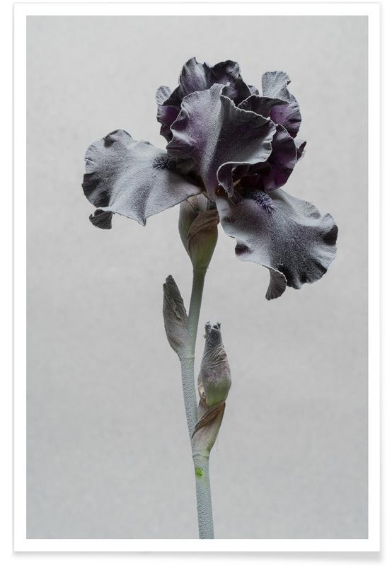 Lilies, Iris Poster