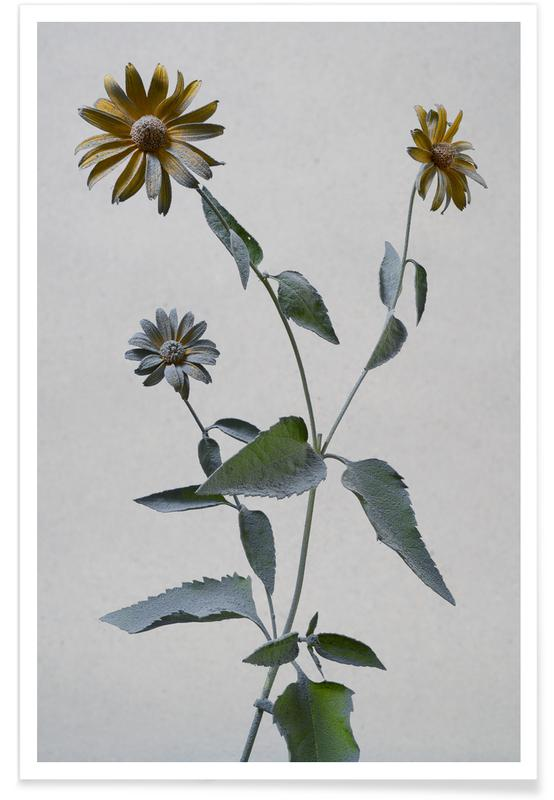 Gänseblümchen, Sonnenauge -Poster