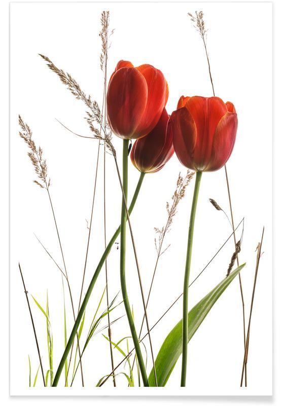 Tulipes, Coquelicots, Tulipe affiche