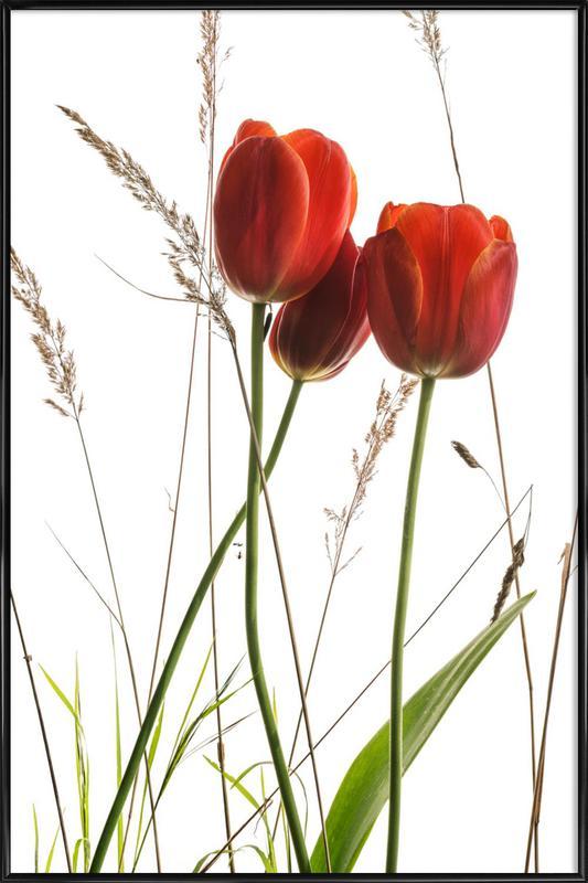 Flora - Tulpe -Bild mit Kunststoffrahmen