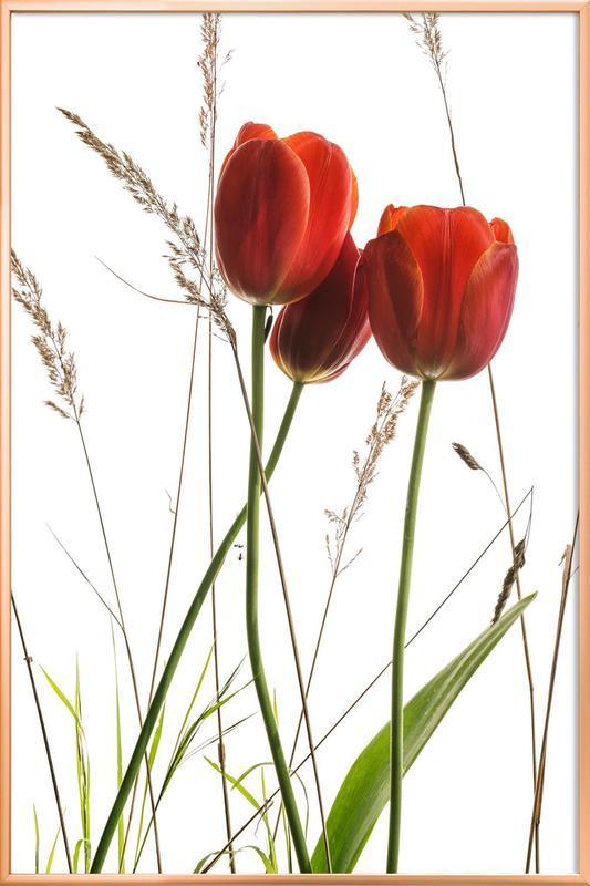 Flora - Tulpe -Poster im Alurahmen