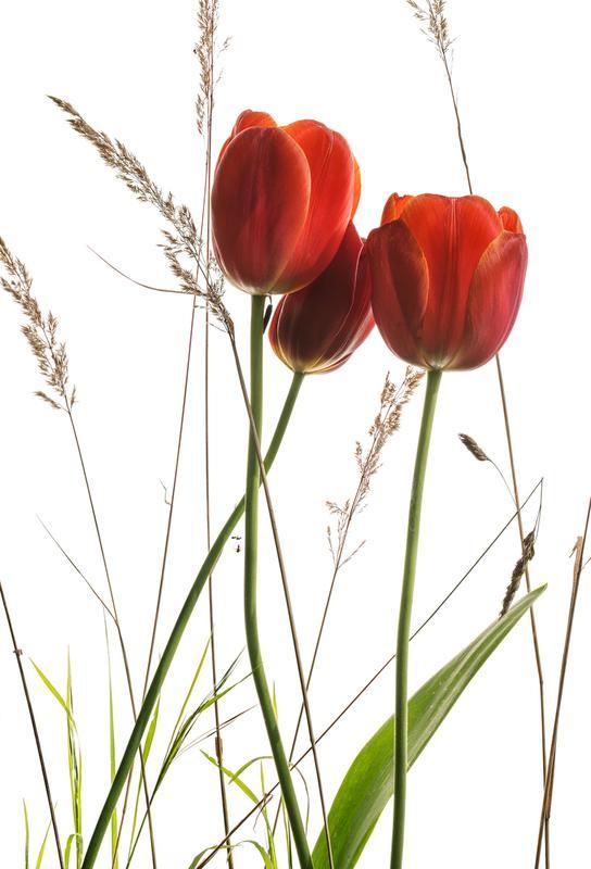 Flora - Tulpe -Acrylglasbild