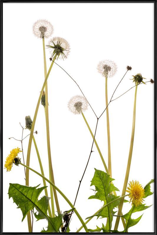 Flora - Löwenzahn ingelijste poster