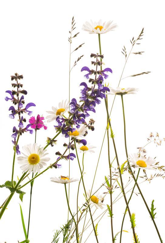 Flora - Margerite -Acrylglasbild