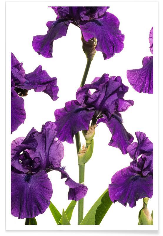 Flora - Schwertlilie 2 affiche