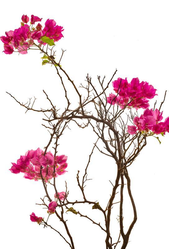 Flora - Bougainvillea Acrylic Print
