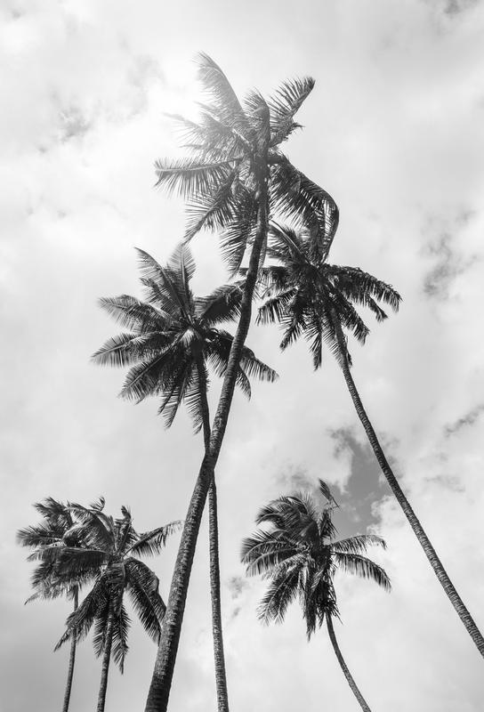 Palme Bounty Impression sur alu-Dibond