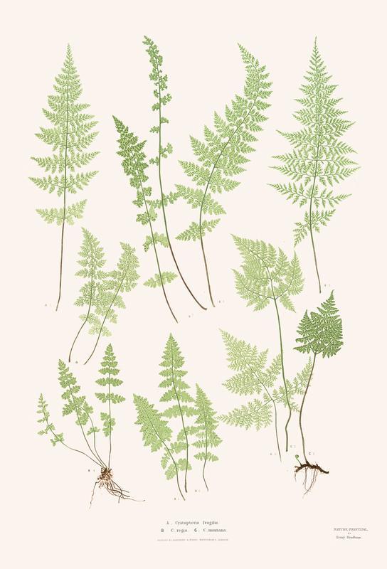 Ferns acrylglas print