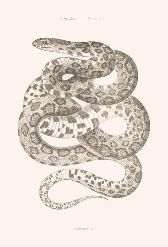 Reptiles - Plate XXII Acrylic Print