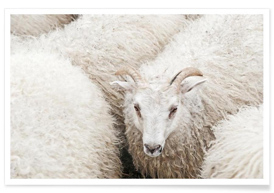Schafe, The Fluff -Poster