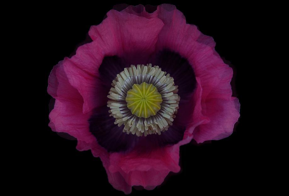 Poppy -Acrylglasbild
