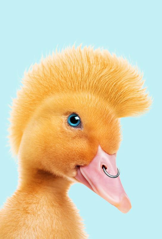 Rebel Duckling -Acrylglasbild
