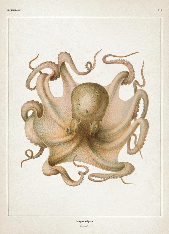 Octopus Vulgaris - Vérany Canvas Print