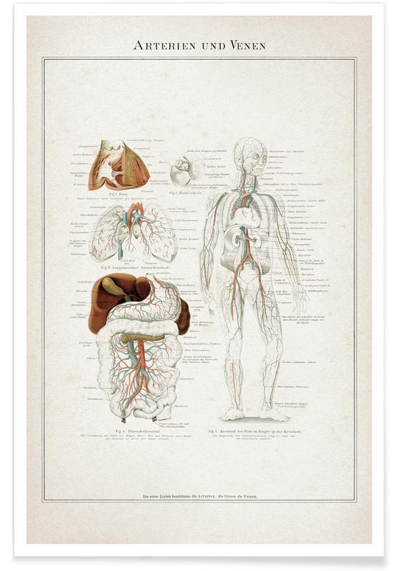 Arterien und Venen - Meyers Poster